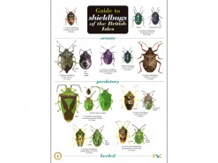 Guide to shieldbugs of the British Isles