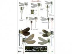 Guide to dragonflies & damselflies