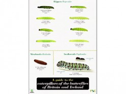 A guide to caterpillers of the butterflies
