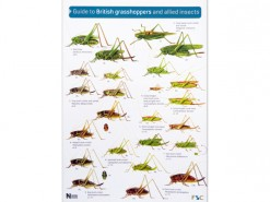 Guide to British grasshoppers