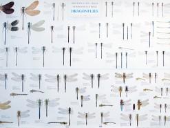Libellenposter 70x100 cm.