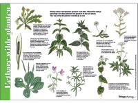 Eetbare-wilde-planten