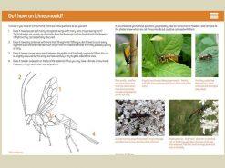7.347 Ichneumonid Wasps binnen
