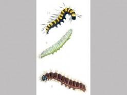 CDrom: Larvae of the British Noctuidae