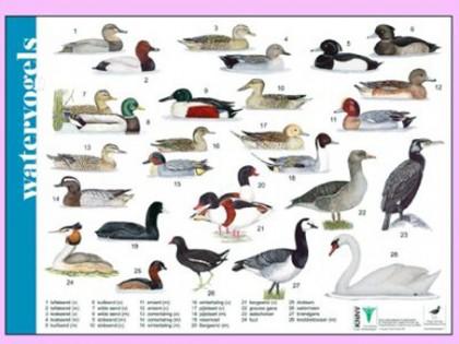 Herkenningskaart Watervogels 1