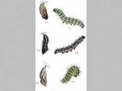 CDrom: Larvae of the British Butterflies & Moths