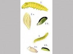 CDrom: Larvae of the British Microlepidoptera