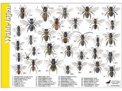 Herkenningskaart Wilde Bijen 1
