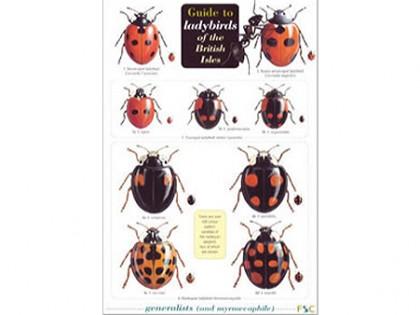Guide to ladybirds (lieveheersbeestjes) 1