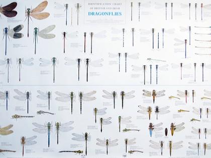 Libellenposter 70×100 cm