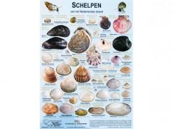 Schelpen van de Nederlandse kust