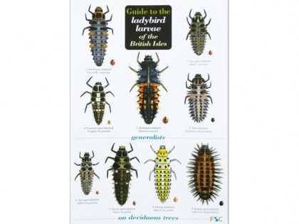 Guide to the ladybird larvae 1