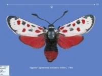 CDrom: Die Zygaeniidae der Palaearktis