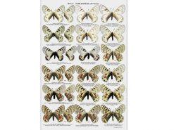 TSH40 Butterflies of Afghanistan binnen1