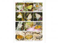 TSH40 Butterflies of Afghanistan binnen2