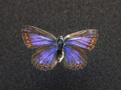 45.056 Itex zwart met vlindertje