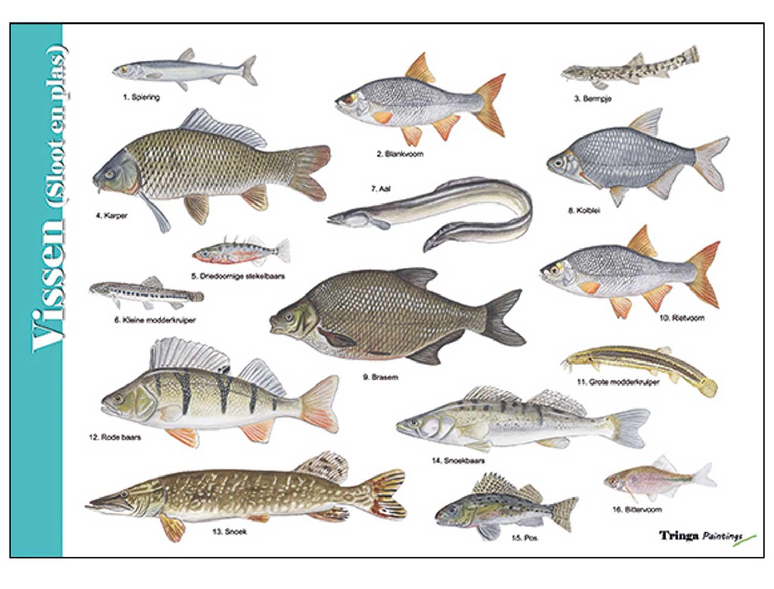 Herkenningskaart-Vissen