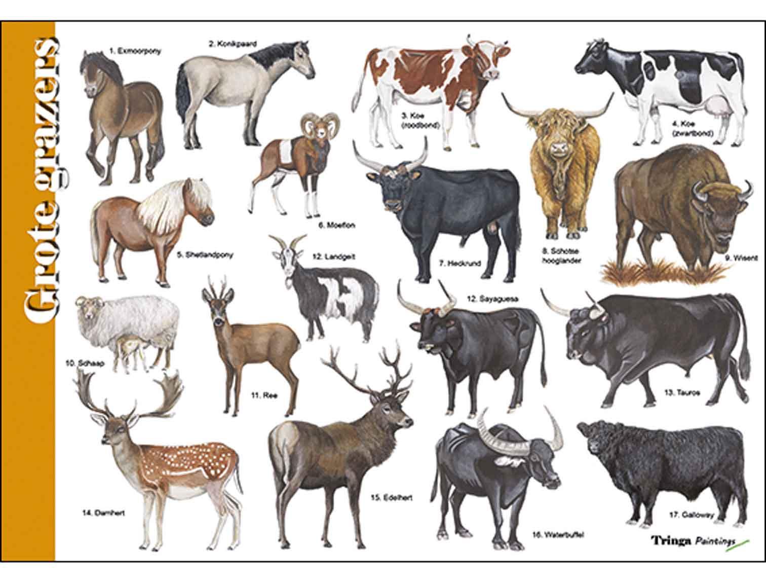 Herkenningskaart-Grote-grazers