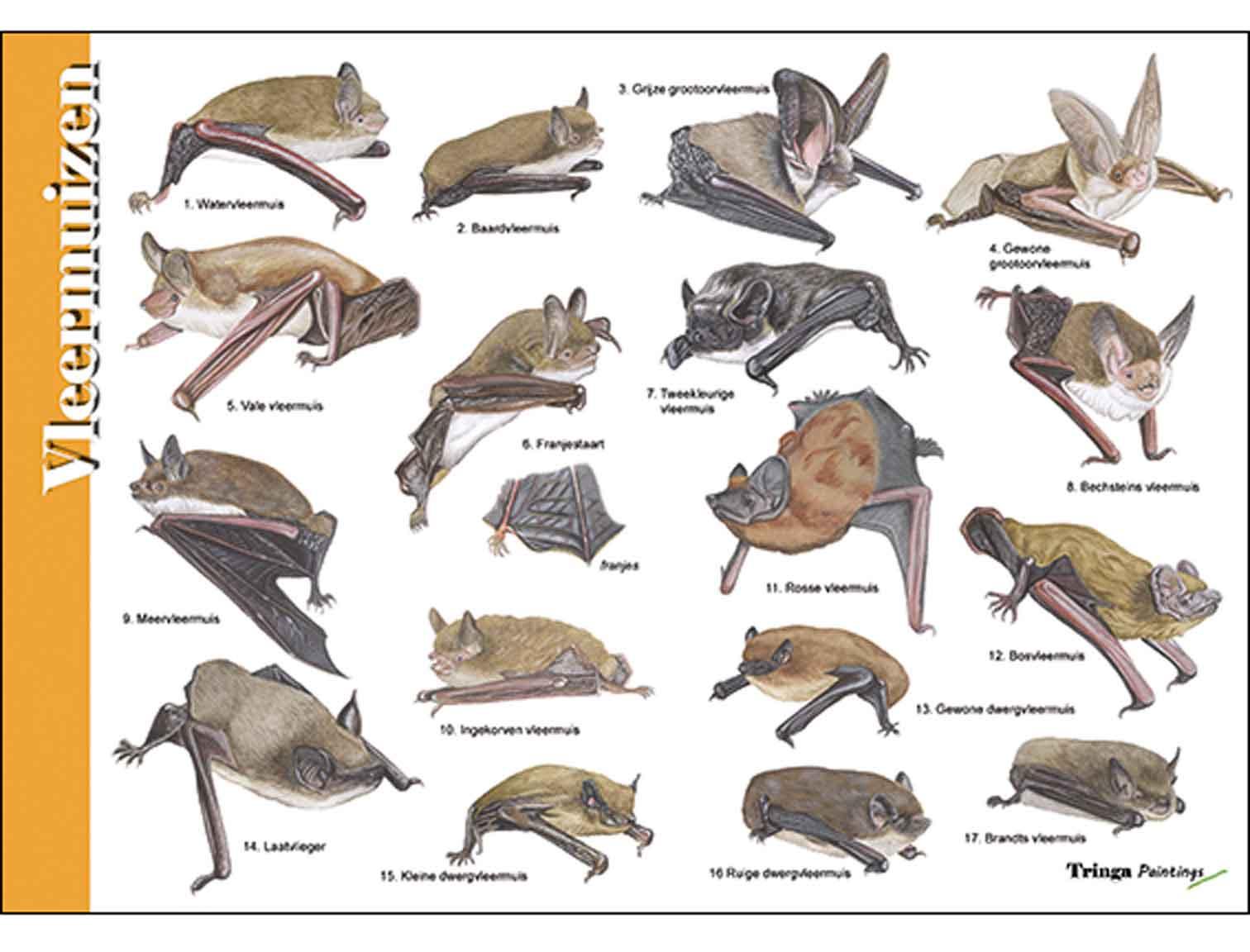 Herkenningskaart-Vleermuizen